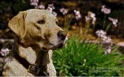 Woodcut Labrador