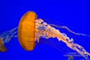 Jellyfish in Monterey