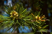 Pine tree flowers